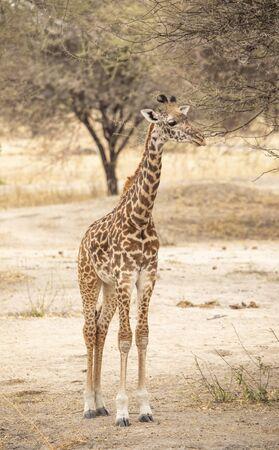 young giraffe ina landscape of northern Tanzania