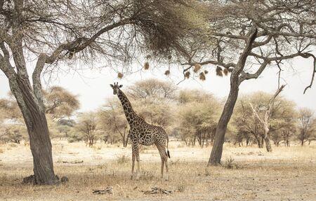 giraffe in a landscape of northern tanzania