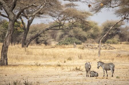 Zebras in a landscape of Tanzania