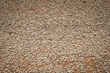 coffee beans drying in the sun in Guatemala Stock Photo