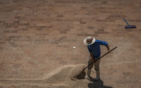 man moving coffee beans on the ground to help them dry faster in sun Stok Fotoğraf
