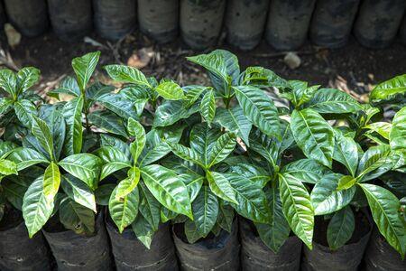 coffee berries in a coffee plant Stok Fotoğraf
