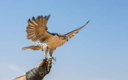 Peregrine Falcon (Falco Peregrinus) flying against a blue sky
