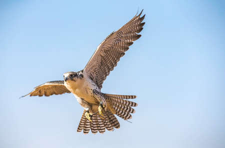 Peregrine Falcon (Falco Peregrinus) in flight against blue sky