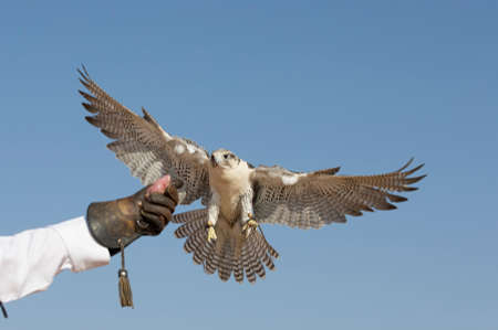 Peregrine Falcon (Falco Peregrinus) landing on hands of his trainer