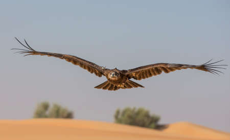 Greater Spotted Eagle (clanga clanga)flying in a desert near Dubai, UAE