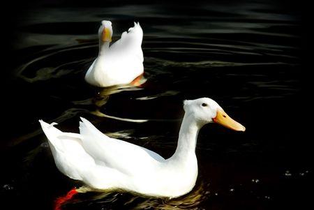 plummage: Pekin lindo patos chapoteando acerca de en agua oscura