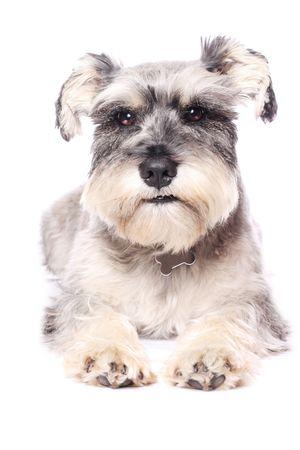 An adorable Miniature Schnauzer on a white background. photo