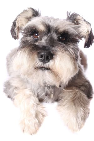 An adorable Miniature Schnauzer on a white background. Stock Photo - 5536399