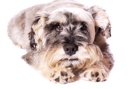 poorly: A cute Miniature Schnauzer with a bandage on his head, on a white background.