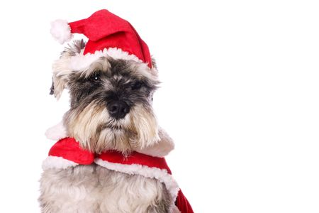 An adorable Miniature Schnauzer wearing a Santa Claus outfit on a white background. Copy space.