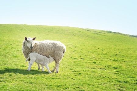 ewe: A ewe sheep feeding her lamb on a hillside