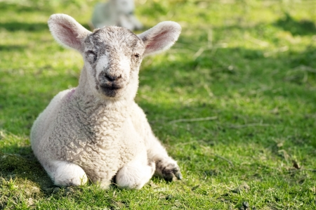 An adorable lamb resting in the sun  Stock Photo - 13162329