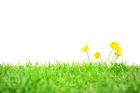 buttercup: A group of buttercups on grass isolated on white.