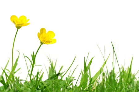 buttercup: Two buttercups on grass isolated on white Stock Photo