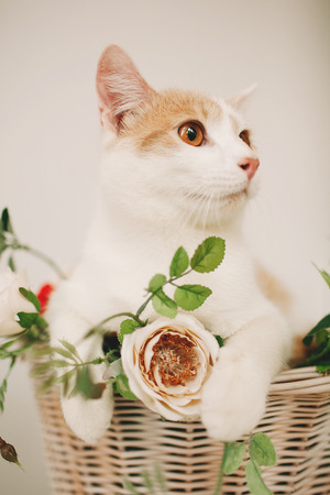 flower boxes: Cat sitting with flowers in a wicker basket of white retro bicycle on white background Stock Photo