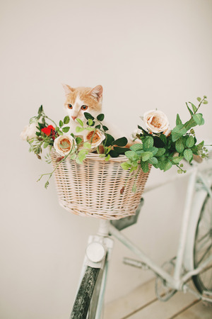 decorated bike: Cat sitting with flowers in a wicker basket of white retro bicycle on white background Stock Photo