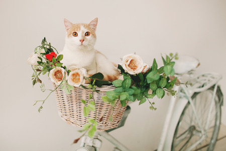 Cat sitting with flowers in a wicker basket of white retro bicycle on white background Standard-Bild