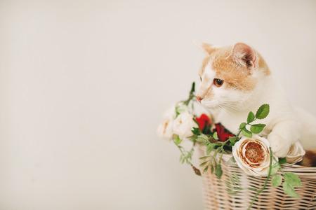 흰색 배경에 흰색 복고풍 자전거의 고리 버들 바구니에 꽃과 함께 앉아 고양이