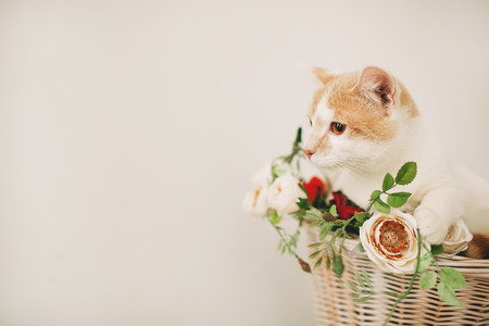 Cat sitting with flowers in a wicker basket of white retro bicycle on white background Stok Fotoğraf