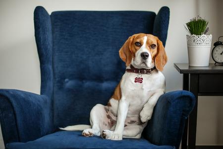 Chien beagle drôle assis dans le fauteuil comme un patron à l'entrevue Banque d'images - 39465386