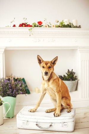 light hair: Dog with light hair in old fashioned decorated room near fireplace Stock Photo