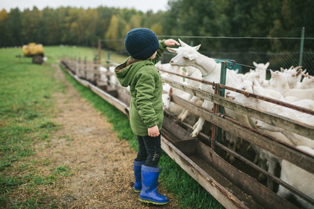 Little kids playing and feeding with goats on the goats cheese farm outdoors Stok Fotoğraf