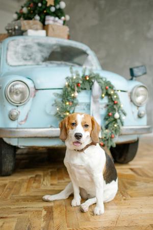 Beagle Welpen vor blauem Retro-Auto mit Weihnachtsbaum auf dem Dach indoor Standard-Bild - 95189093