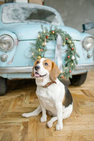 Beagle puppy in front of blue retro car with christmas tree on the roof indoor 스톡 콘텐츠