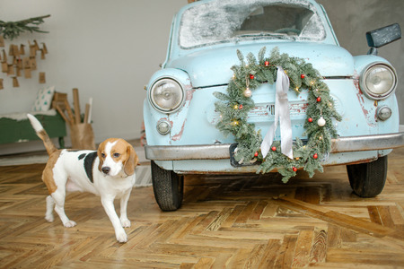 Beagle puppy in front of blue retro car with christmas tree on the roof indoor Stockfoto