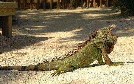 Large green iquana yawning in sunshine photo