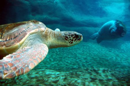 sea turtle swimming in ocean with manatee in background