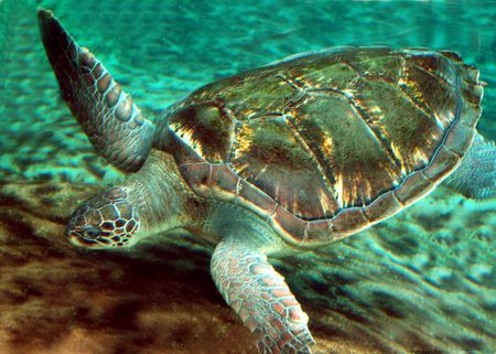 sea turtle swimming in ocean photo