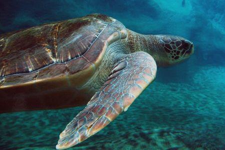 sea turtle swimming in ocean photo