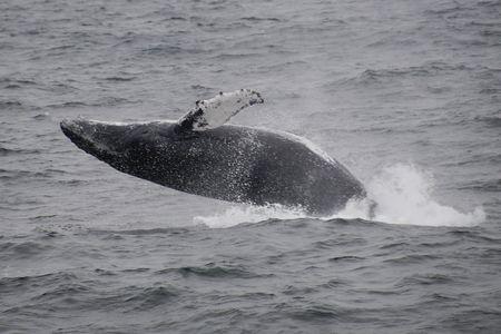 Gray Whale breaching Atlantic Ocean photo
