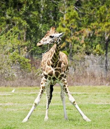 girafe: Young girafe standing with front legs spread in a funny pose