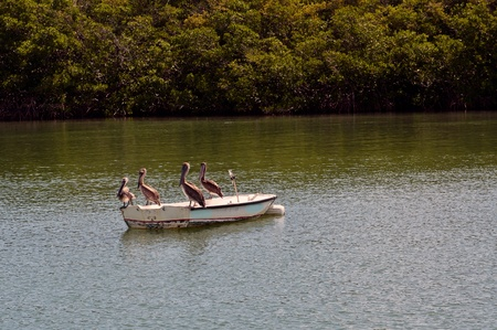 Group of pelicans resting on an old dilapidated boat photo