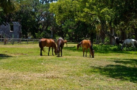group of wild horses grazing on Cumberland Island National Seashore in Georgia, USA