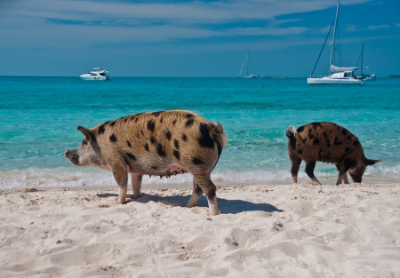 Wild pigs on Big Majors Island in The Bahamas, lounging and walking around in the sand and ocean