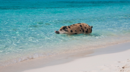 bahama: Wild pigs on Big Majors Island in The Bahamas, lounging and walking around in the sand and ocean, swimming in the clear blue water   copy space available