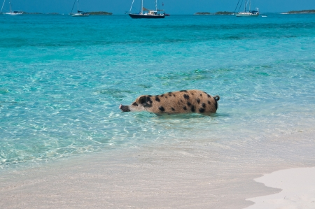 major ocean: Wild pigs on Big Majors Island in The Bahamas, lounging and walking around in the sand and ocean, swimming in the clear blue water   copy space available