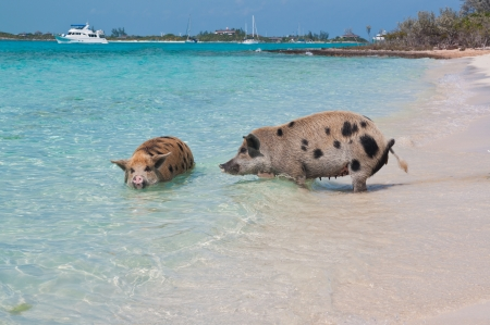 Wild pigs on Big Majors Island in The Bahamas, lounging and walking around in the sand and ocean, swimming in the clear blue water   copy space available