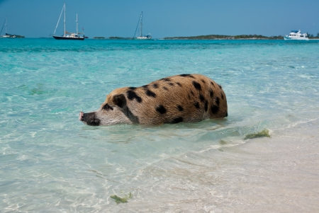 majors: Wild pigs on Big Majors Island in The Bahamas, lounging and walking around in the sand and ocean, swimming in the clear blue water   copy space available