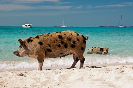majors: Wild pigs on Big Majors Island in The Bahamas, lounging and walking around in the sand and ocean