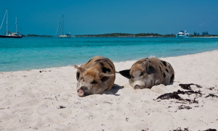 major ocean: Wild pigs on Big Majors Island in The Bahamas, lounging and walking around in the sand and ocean