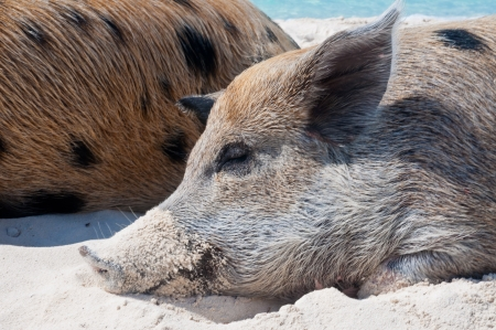 majors: Wild pigs on Big Majors Island in The Bahamas, lounging and walking around in the sand and ocean. Stock Photo