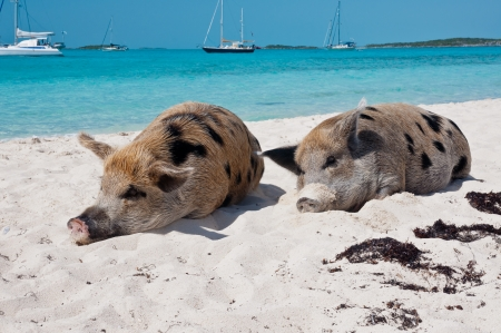 Wild pigs on Big Majors Island in The Bahamas, lounging and walking around in the sand and ocean. Stock Photo