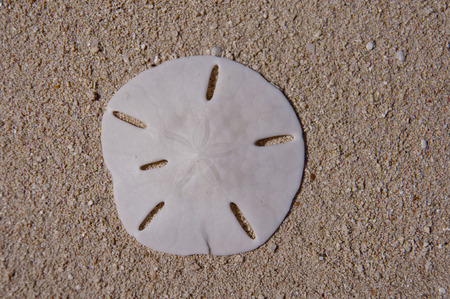 Beautiful white sand dollar resting on the sand.  copy space available