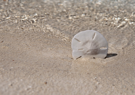echinoderm: Sand dollar propped up in sand with ocean water waves in background.  copy space available