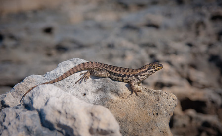 Horizontal photo of   Leiocephalus carinatus, curly tailed lizard, sitting on a rock with sand and rock in the background that can be used as copy space.